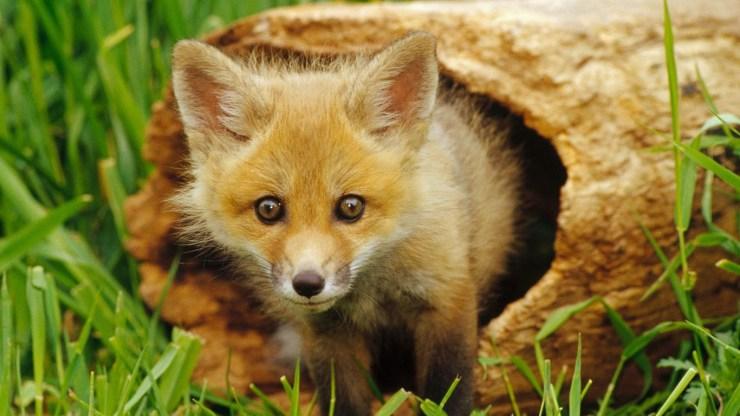 fox wallpaper 511564195