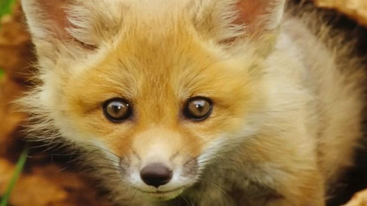 fox wallpaper 511564201