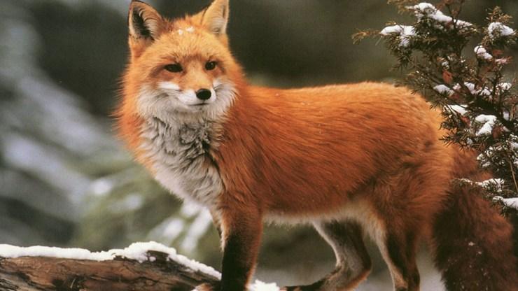 fox wallpaper 511564205