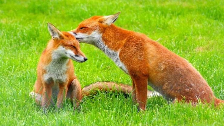 fox wallpaper 511564207