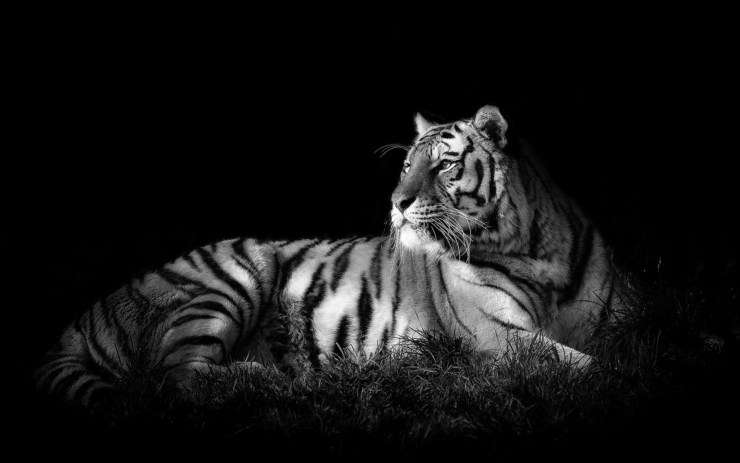 Black and white picture of tigers