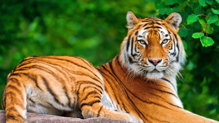 Tiger animals picture