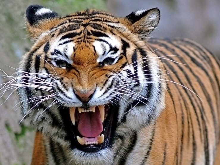 Tiger picture to download