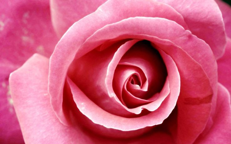 pink blossom wallpaper
