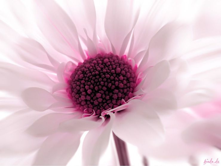 whight and pink color flower