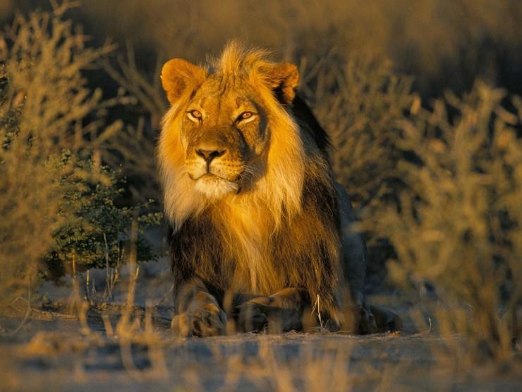 free lion images download