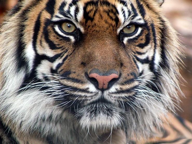 free white tiger wallpaper