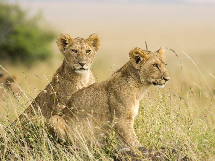 lion cubs wallpaper
