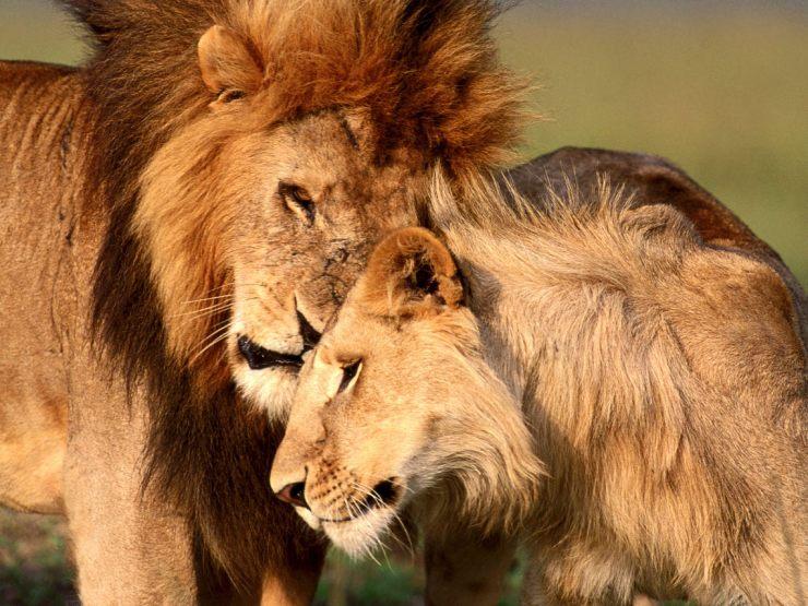 lion hd images