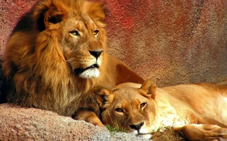 lion images pictures