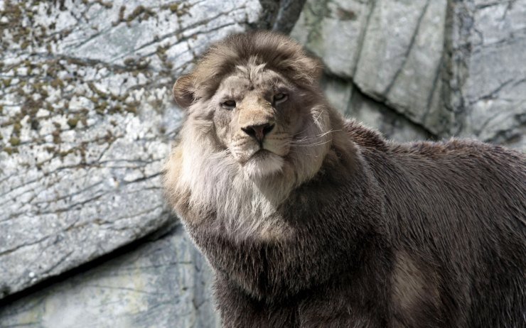 lions images free download