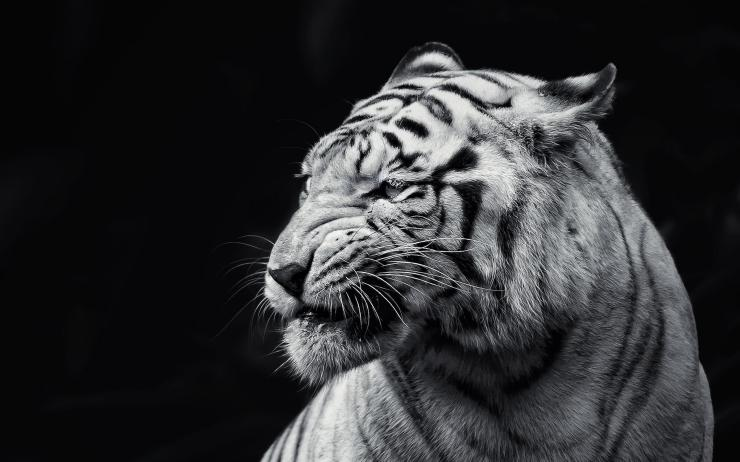 pics of tigers