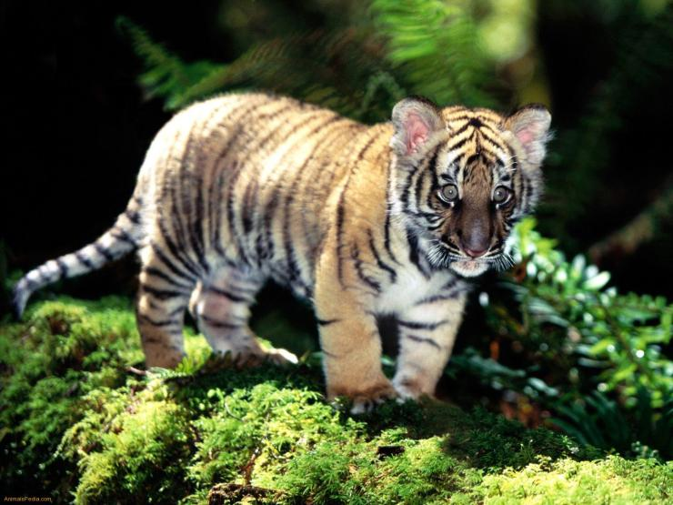 tiger cub wallpaper
