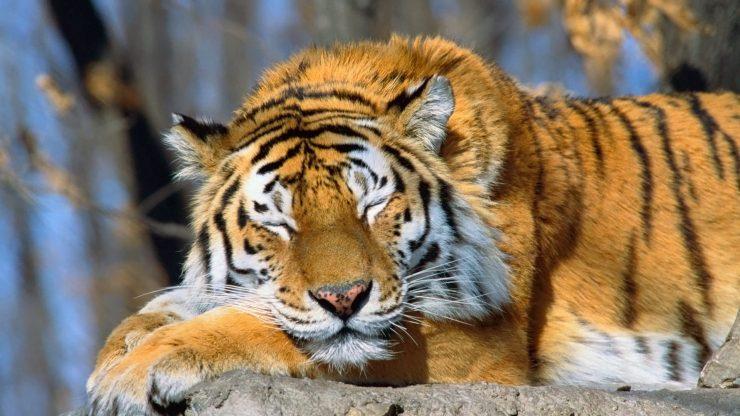 tiger wallpaper for mobile