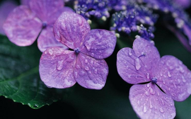 violet flower wallpaper