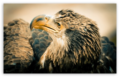 Hd Wallpapers 1080p Widescreen For Mobile 3 Year Old Bald Eagle 4k Hd Desktop Wallpaper For 4k Ultra