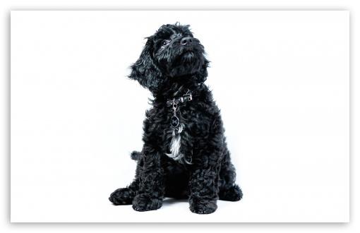 A Black Cockapoo Puppy, Dog, Looking Up Ultra HD Desktop