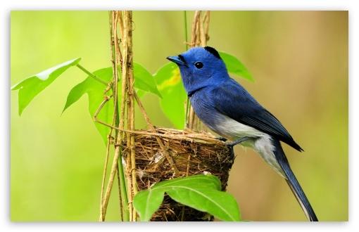 Bird Of Paradise Hd Wallpaper Beautiful Blue Bird 4k Hd Desktop Wallpaper For 4k Ultra