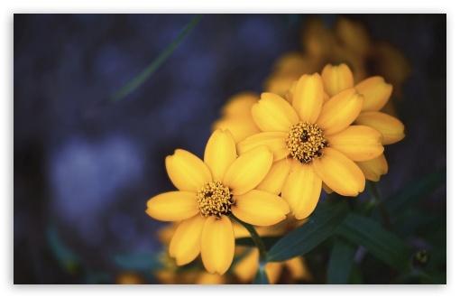 1440p Wallpaper Girls Beautiful Yellow Flowers Ultra Hd Desktop Background