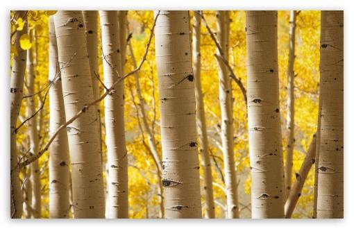 Hd Fall Wallpapers 1080p Birch Trees 4k Hd Desktop Wallpaper For 4k Ultra Hd Tv