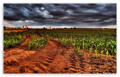 Wallpaper Hd Smartphone Corn Plantation Hdr 4k Hd Desktop Wallpaper For 4k Ultra