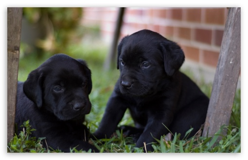 Cute Labrador Puppies Wallpapers Cute Labrador Puppies 4k Hd Desktop Wallpaper For 4k Ultra