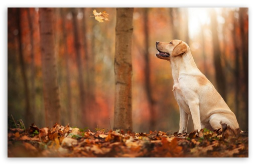 Fall Leaves Hd Wallpapers 1080p Dog Autumn Ultra Hd Desktop Background Wallpaper For 4k