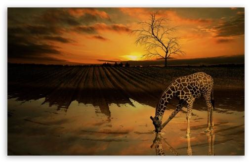 Funny Wallpapers For Iphone 3gs Giraffe Drinking Water 4k Hd Desktop Wallpaper For 4k