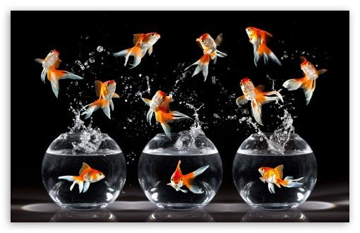 Iphone 3gs Wallpaper Hd Goldfish 4k Hd Desktop Wallpaper For 4k Ultra Hd Tv Wide
