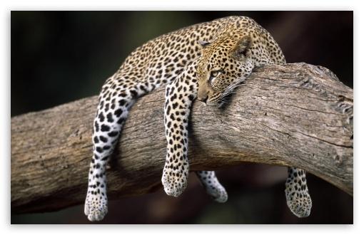 Hd Wallpapers 1080p Widescreen For Mobile Leopard In Tree Ultra Hd Desktop Background Wallpaper For