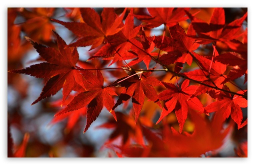 1440p Fall Wallpaper Red Japanese Maple Leaves 4k Hd Desktop Wallpaper For 4k