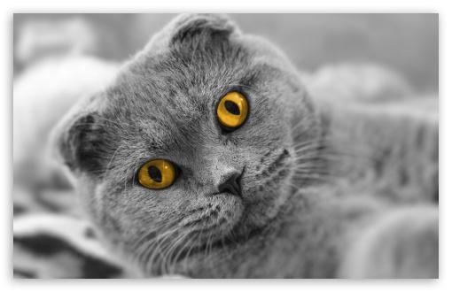 Download Wallpaper Cute Cat Scottish Fold Cute Cat 4k Hd Desktop Wallpaper For 4k