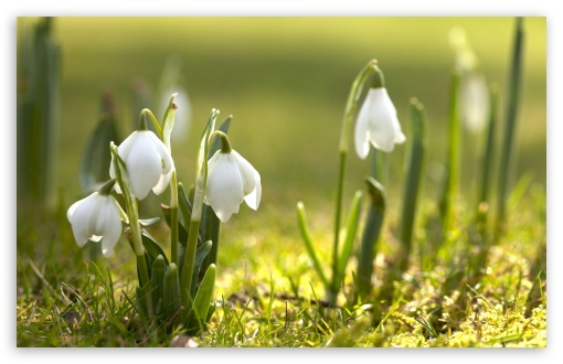 Snowdrops In Sunlight HD wallpaper for Standard 4:3 5:4 Fullscreen UXGA XGA SVGA QSXGA SXGA ; Wide 16:10 5:3 Widescreen WHXGA WQXGA WUXGA WXGA WGA ; HD 16:9 High Definition WQHD QWXGA 1080p 900p 720p QHD nHD ; Other 3:2 DVGA HVGA HQVGA devices ( Apple PowerBook G4 iPhone 4 3G 3GS iPod Touch ) ; Mobile VGA WVGA iPhone iPad PSP Phone - VGA QVGA Smartphone ( PocketPC GPS iPod Zune BlackBerry HTC Samsung LG Nokia Eten Asus ) WVGA WQVGA Smartphone ( HTC Samsung Sony Ericsson LG Vertu MIO ) HVGA Smartphone ( Apple iPhone iPod BlackBerry HTC Samsung Nokia ) Sony PSP Zune HD Zen ; Tablet 2 Android ;
