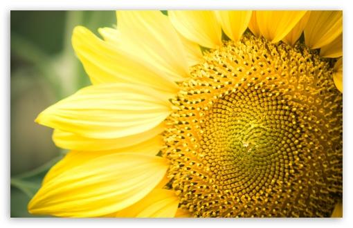 Sunflower Hd Wallpaper 1080p Sunflower 4k Hd Desktop Wallpaper For 4k Ultra Hd Tv