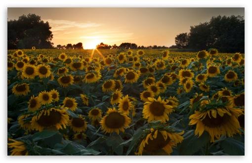 Sunflower Hd Wallpaper 1080p Sunflower Field Sunset 4k Hd Desktop Wallpaper For 4k