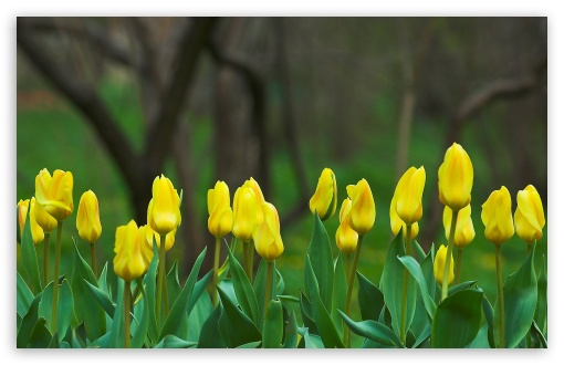 Hd Wallpapers 1080p Widescreen For Mobile Yellow Tulips 4k Hd Desktop Wallpaper For 4k Ultra Hd Tv