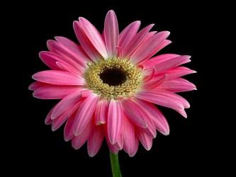 pink cute cool hd background flower pretty hdblackwallpaper