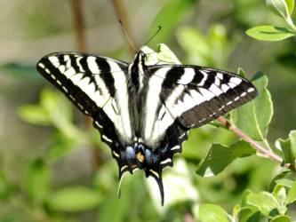 butterfly butterflies cool wallpapers desktop swallowtail fanpop legend butterflypictures normal moth indian american moths project hdblackwallpaper hd kind
