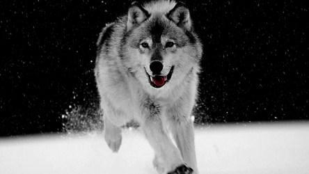 wolf desktop hd hdblackwallpaper angry