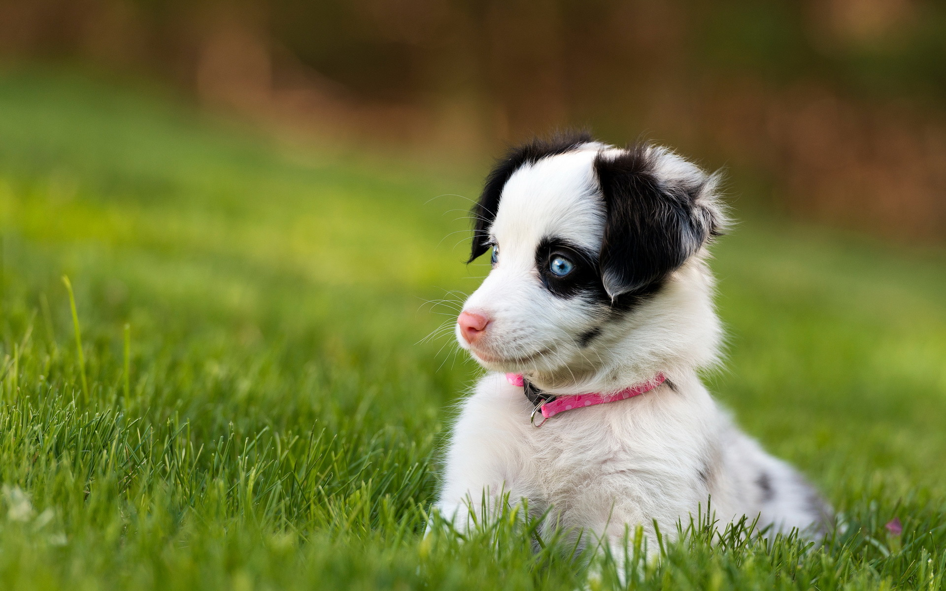 Cute Husky Puppies With Blue Eyes Wallpaper Dog Wallpaper Blue Eyes Hd Desktop Wallpapers 4k Hd