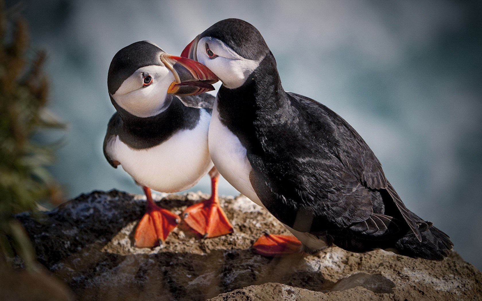 Cute Romantic Kissing Wallpaper Atlantic Puffin Love Hd Desktop Wallpapers 4k Hd
