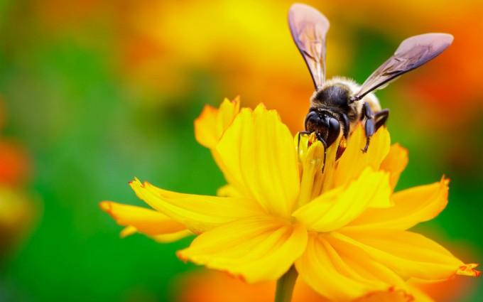 Cute Live Wallpaper Download Bee Nectar Flower Hd Desktop Wallpapers 4k Hd