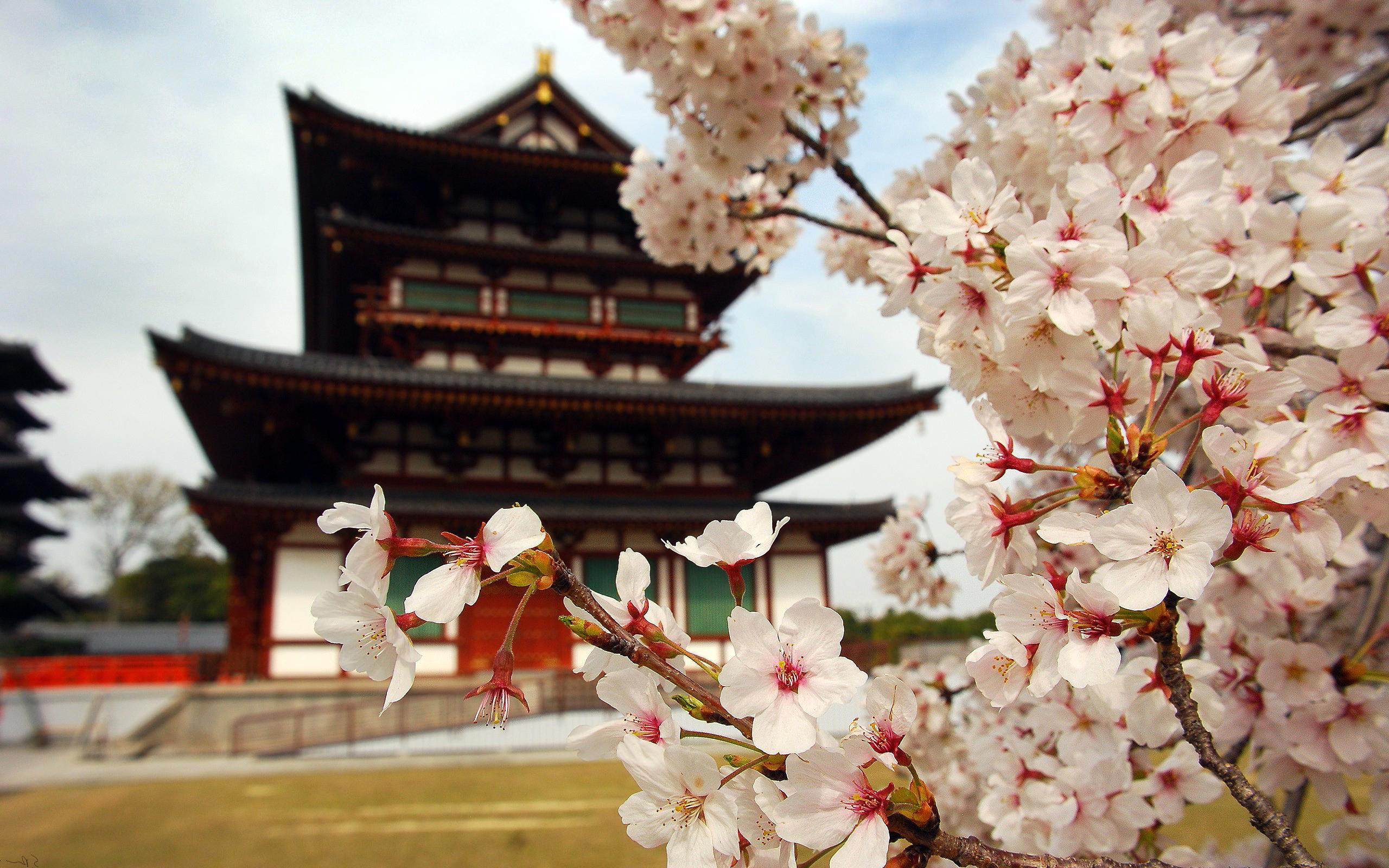 Falling Cherry Blossom Wallpaper Hd Sakura Blossom Hd Desktop Wallpapers 4k Hd
