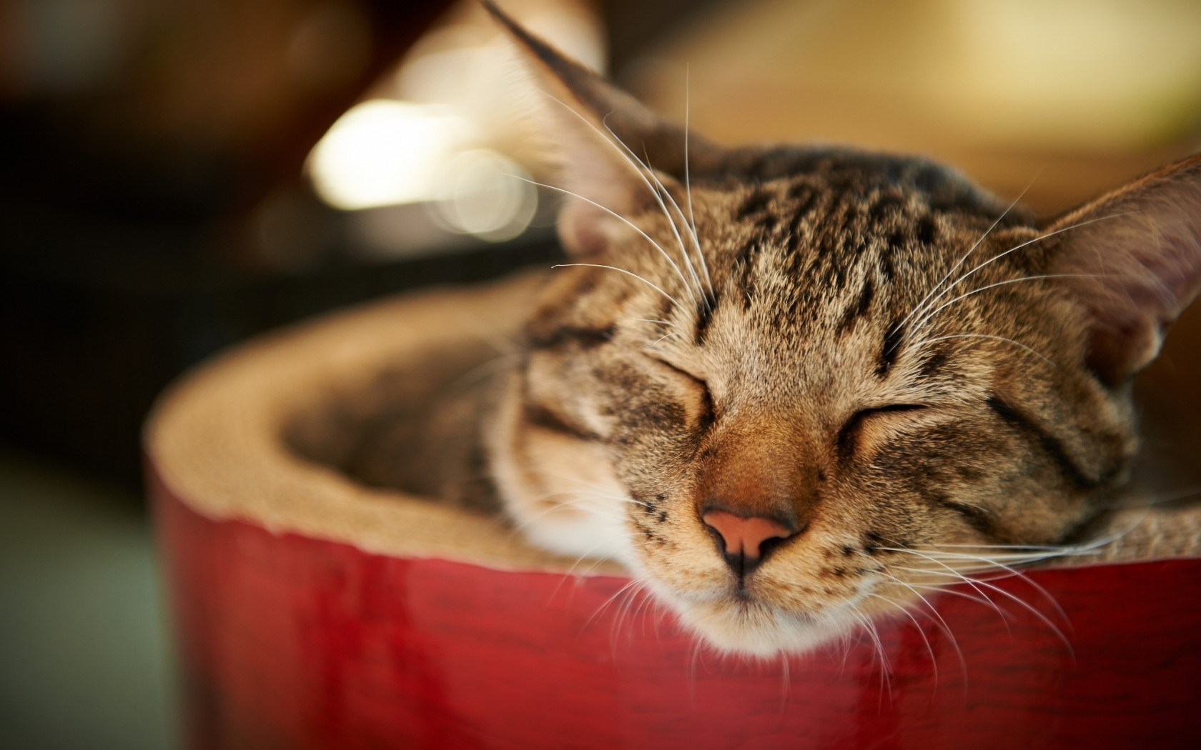 Cool Cute 3d Wallpapers Cat Resting Hd Desktop Wallpapers 4k Hd