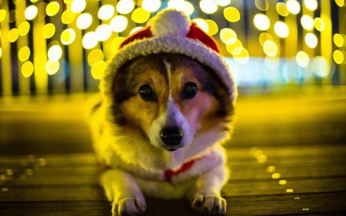 Free Download Of Cute Love Wallpapers Corgi Dog Hd Desktop Wallpapers 4k Hd