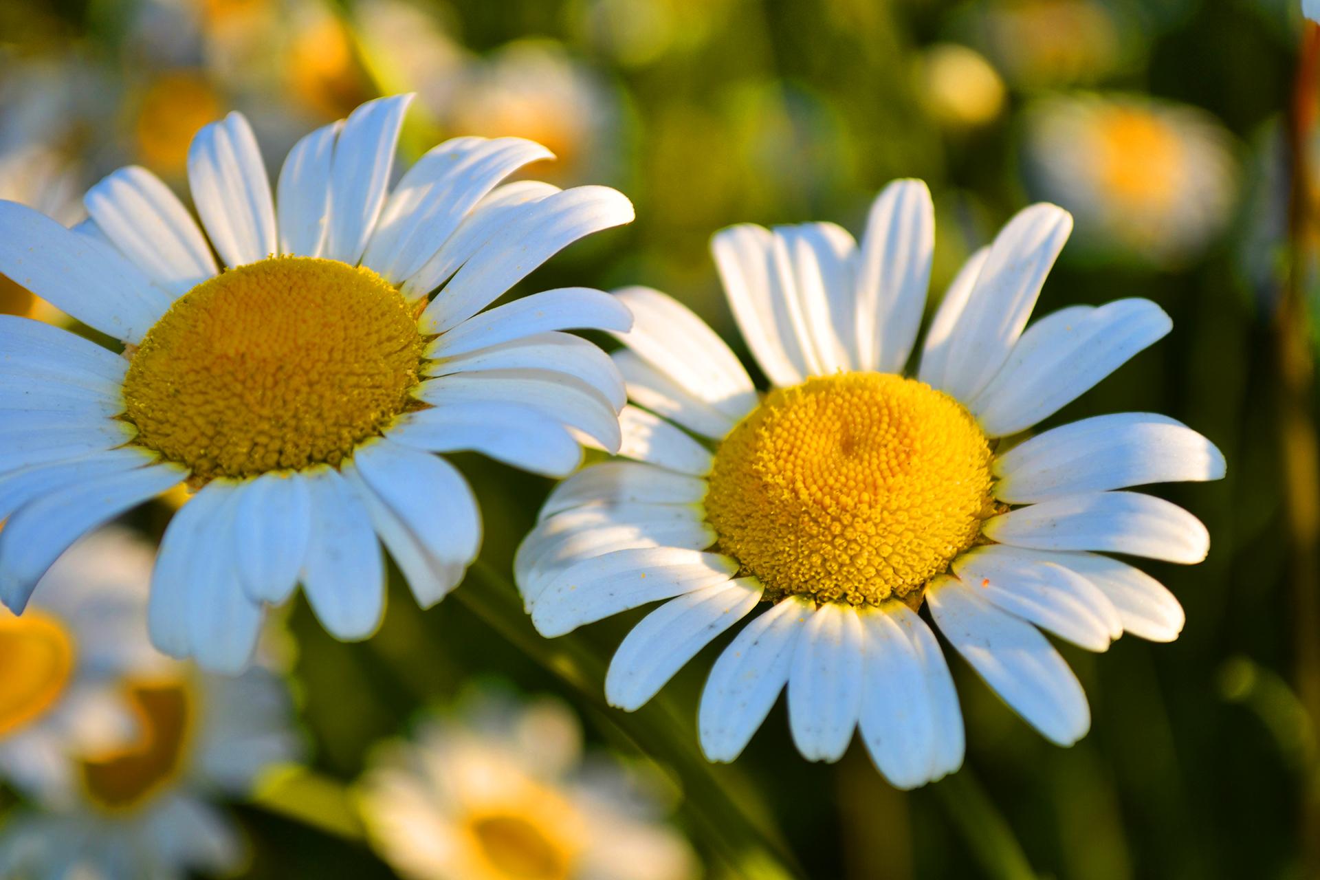 Cute Small Animals Wallpapers Daisies Flower Hd Desktop Wallpapers 4k Hd