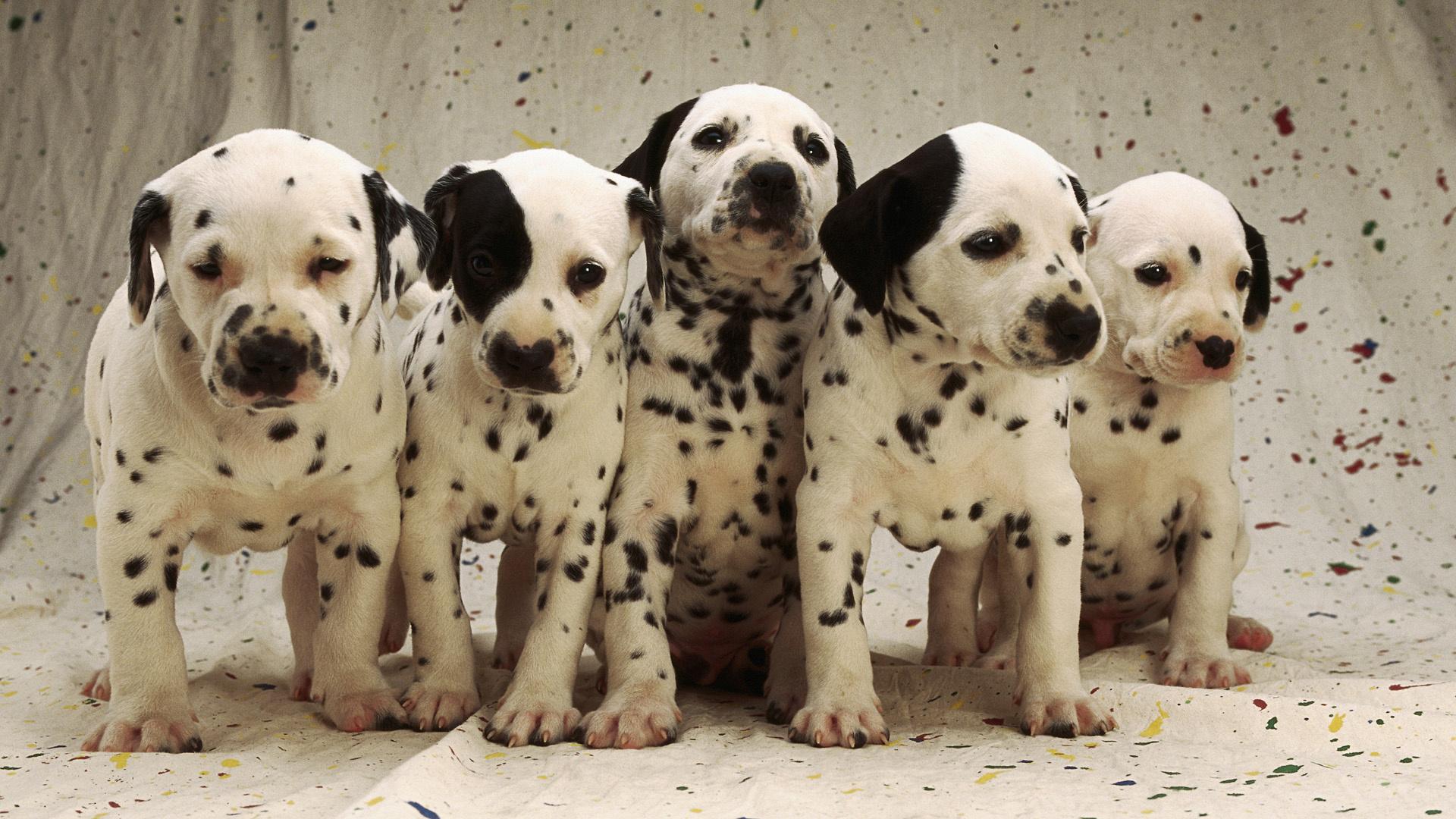 Cute Labrador Puppies Wallpapers Dalmatian Puppies Hd Desktop Wallpapers 4k Hd