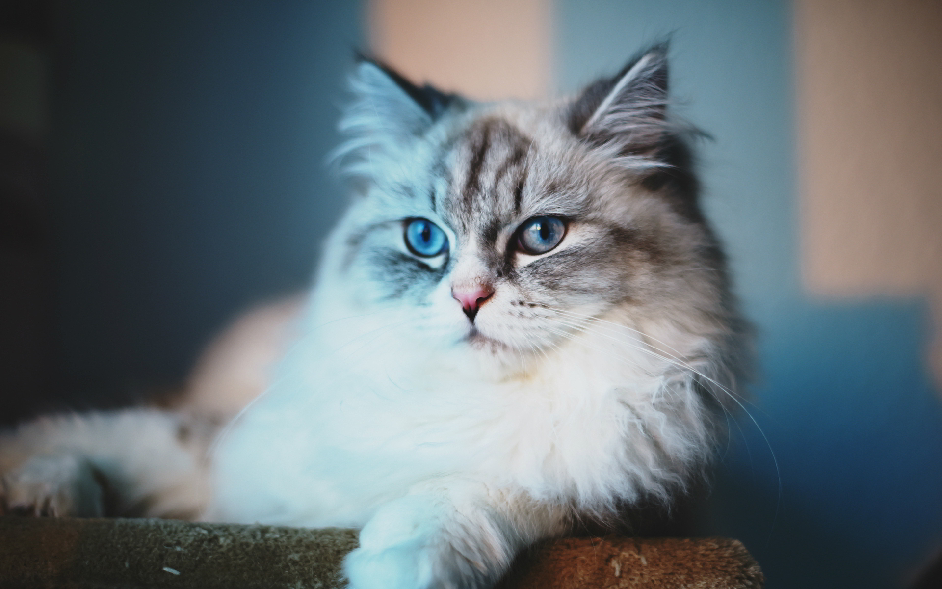 Cute Fat Cat Wallpaper Fluffy Cat Dreaming Hd Desktop Wallpapers 4k Hd