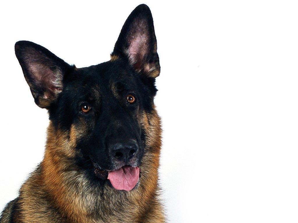 German Shepherd 3d Wallpapers German Shepherd Dog Wallpaper Download Hd Desktop