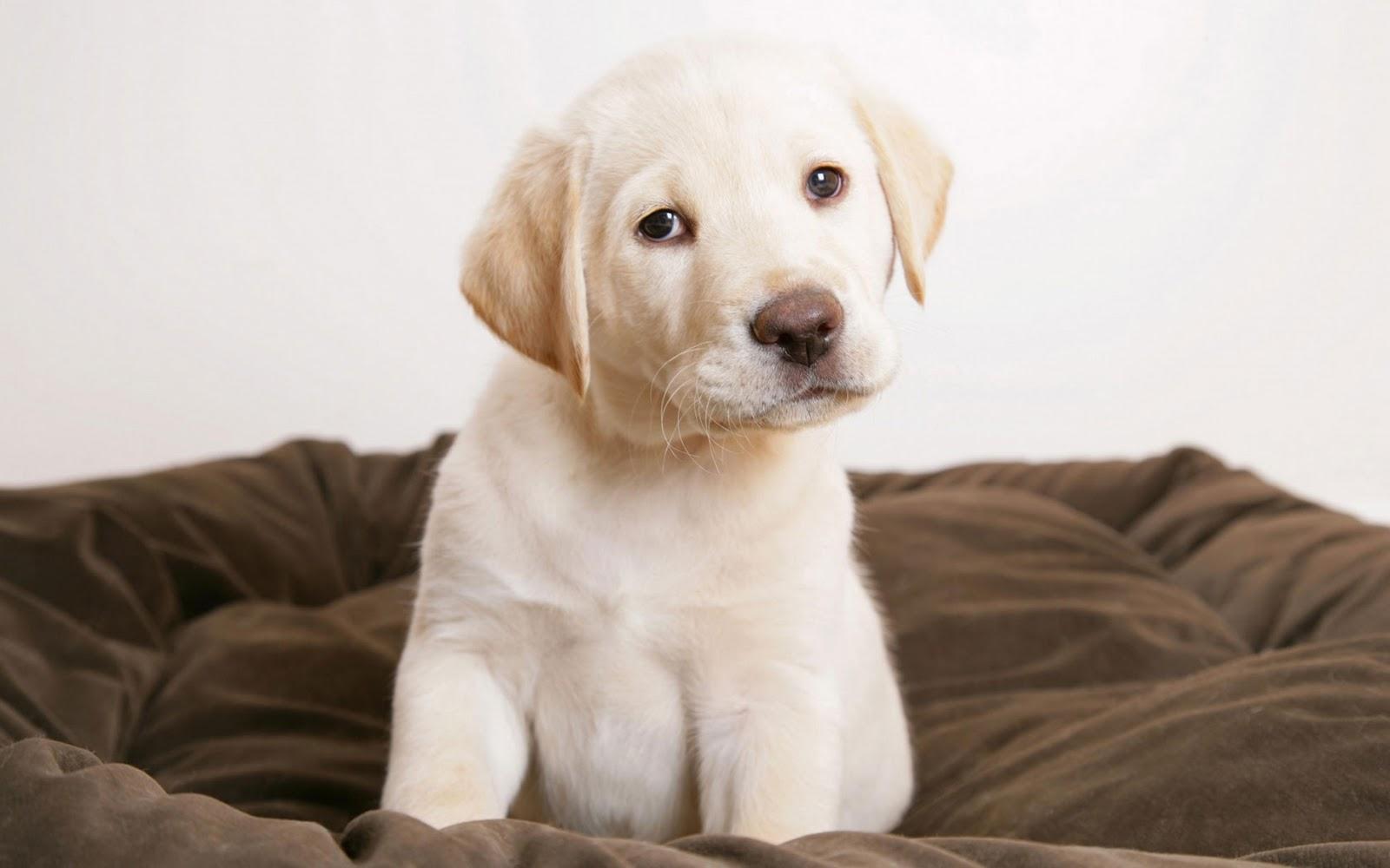 Cute Labrador Puppies Wallpapers Golden Retriever Puppies Hd Hd Desktop Wallpapers 4k Hd